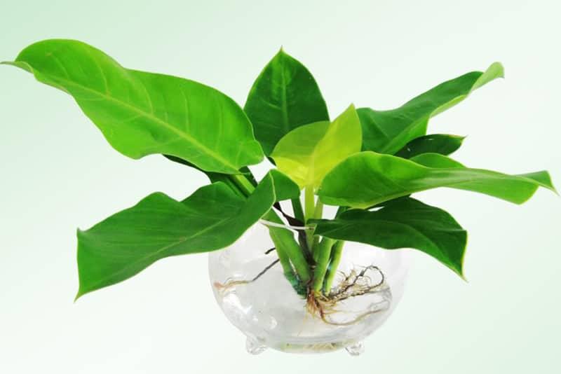 Bật mí cách trồng cây trầu bà trong nước hiệu quả tại nhà