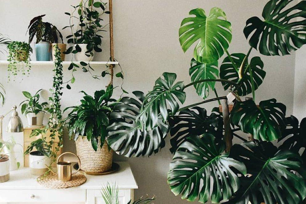 Top 9 cây nội thất lá to lấp đầy khoảng trống trong nhà của bạn