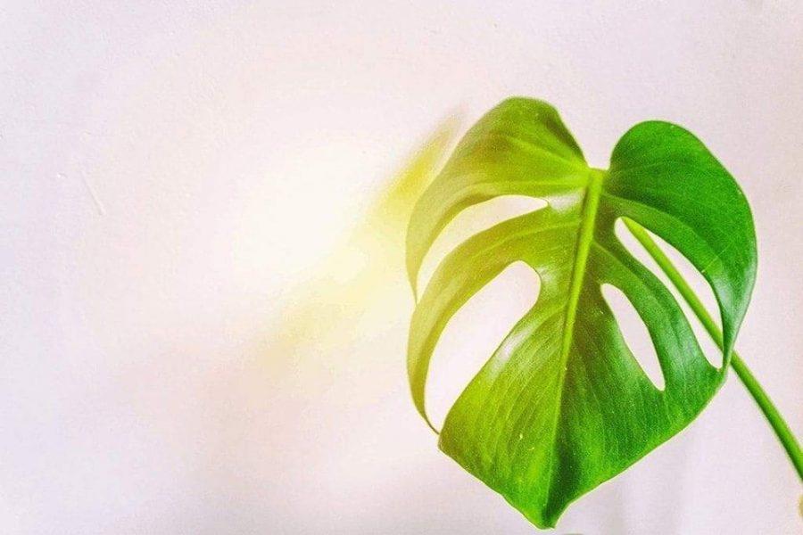 Ánh sáng trồng cây trầu bà như thế nào là tốt nhất?