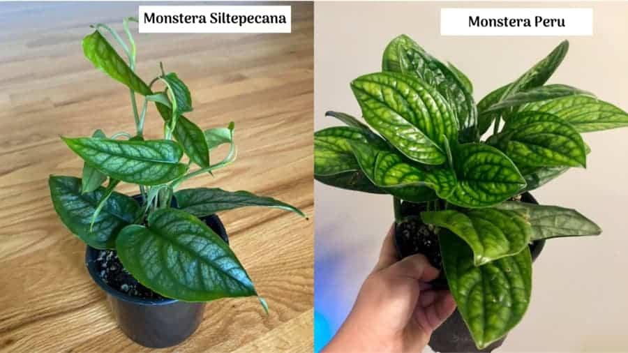 Điểm khác nhau giữa Monstera Siltepecana và Monstera Peru
