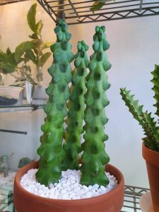 cây Myrtillocactus geometrizans 'Fukurokuryuzinboku'