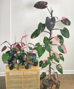 Philodendron 'Công chúa màu hồng'
