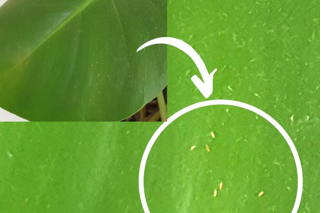 Chia sẻ kinh nghiệm diệt sâu bọ trên cây Monstera