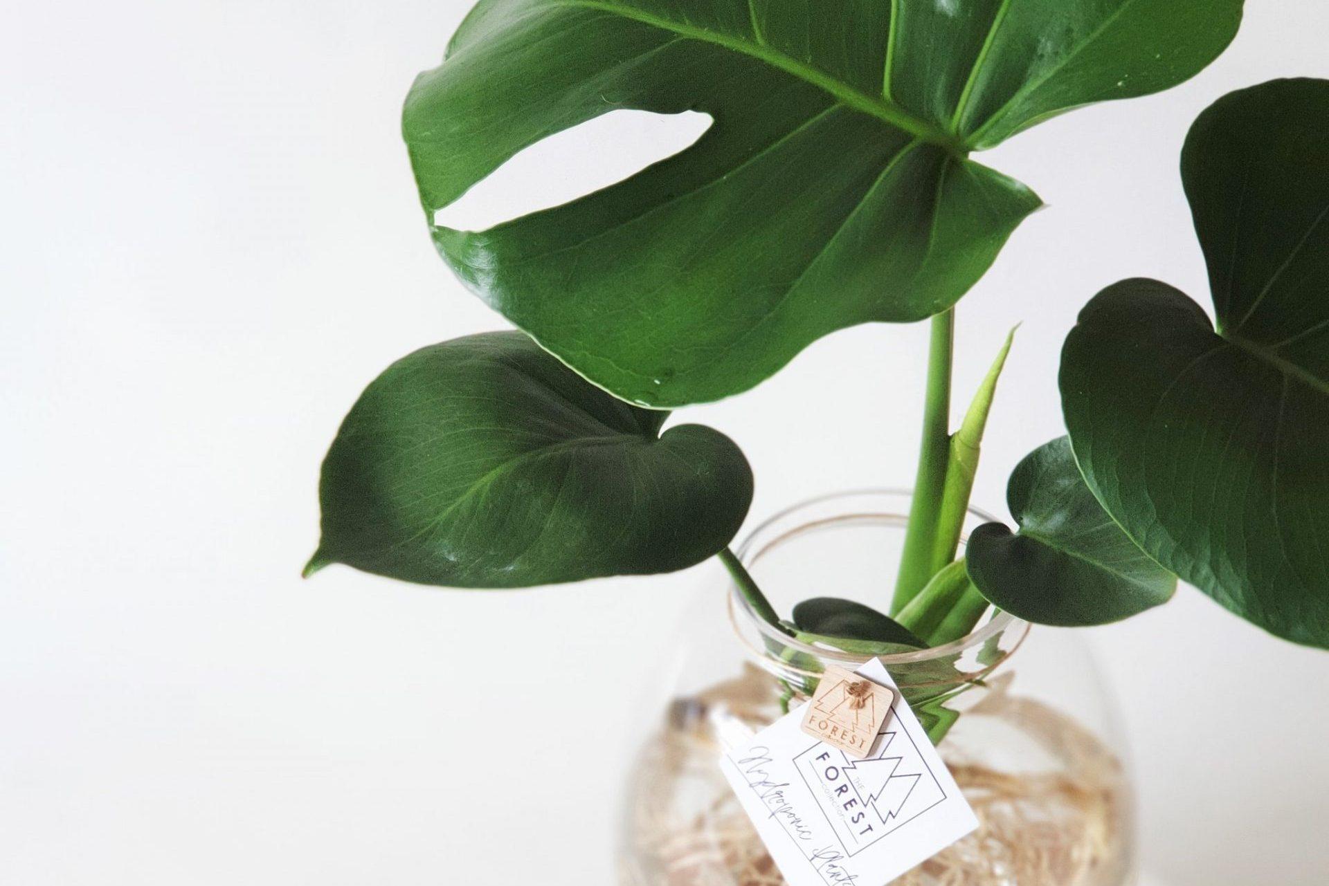 Chia sẻ cách trồng cây Monstera đột biến bằng phương pháp thủy canh